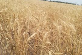 خرید و فروش گندم در خارج از شبکه رسمی قاچاق محسوب میشود