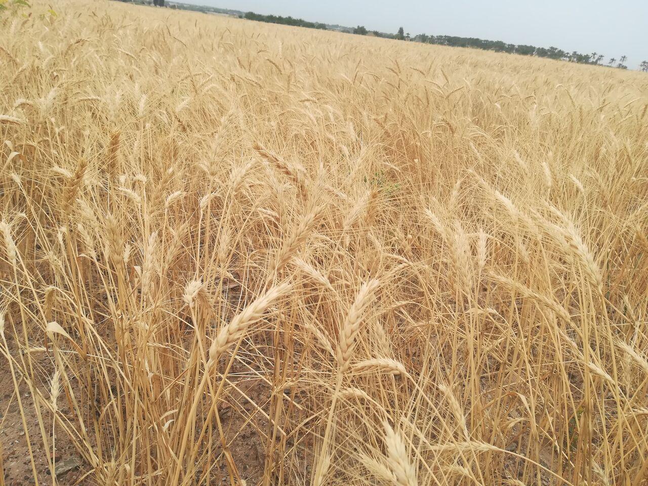 Photo of خرید و فروش گندم در خارج از شبکه رسمی قاچاق محسوب میشود