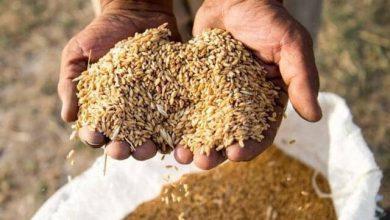 تصویر تولید ۶۷۰ هزار تن گندم در آذربایجان شرقی