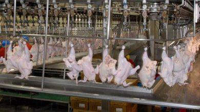 تصویر سالانه ۳۰ درصد از گوشت مرغ تولیدی آذربایجان غربی صادر می شود