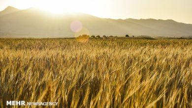 تصویر قیمت خرید تضمینی محصولات زراعی اعلام شد/ نرخ گندم؛ ۴۰۰۰ تومان