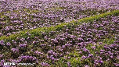 تصویر افزایش ۳۰ درصدی برداشت زعفران در آذربایجانشرقی