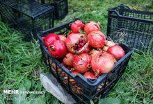 تصویر ۳ دلیل گرانی هویج در بازار/ درباره قیمت میوهها بزرگ نمایی میشود