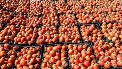 تصویر گوجهکاران نگران فروش هستند/لزوم توسعه صنایع تبدیلی وتسهیل صادرات