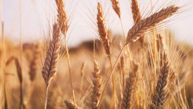 تصویر تولید بیش از ۱۷۰ هزار تن گندم، جو و حبوبات در هشترود
