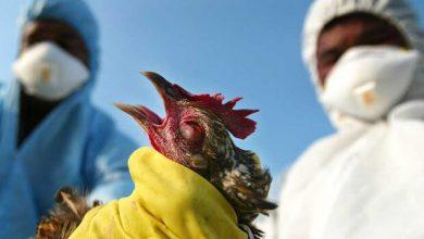 تصویر آنفلوآنزای فوق حاد پرندگان به واحدهای صنعتی رسید