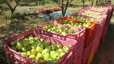 تصویر افزایش ۲ برابری صادرات سیب درختی مراغه به خارج از کشور