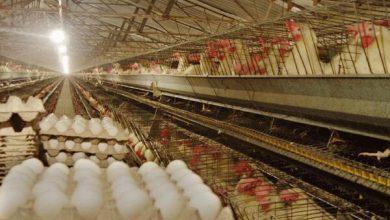 تصویر روزانه ۲۲۰ تن تخم مرغ در آذربایجان شرقی تولید میشود
