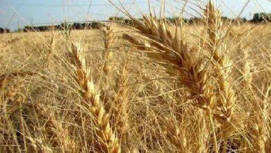 تصویر ۴۰ مزرعه تحقیقی و ترویجی دیم در کشور ایجاد شد
