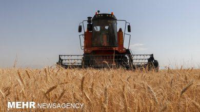 تصویر امسال ۴۷۵ هزار تن گندم در آذربایجانشرقی برداشت میشود
