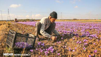 تصویر پیش بینی تولید ۱.۷ تن زعفران در آذربایجان شرقی