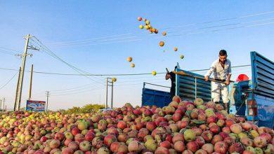 تصویر خرید تضمینی ۱۸ هزار تن سیب صنعتی از باغداران آذربایجان غربی